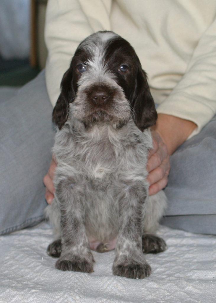 A brown roan 5 week old puppy