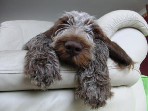 brown roan spinone